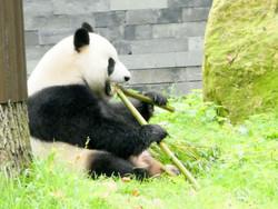 Panda  (28)