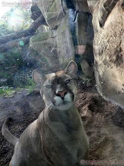 Puma  (10)