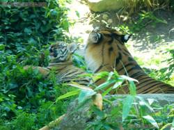 Tiger (50)