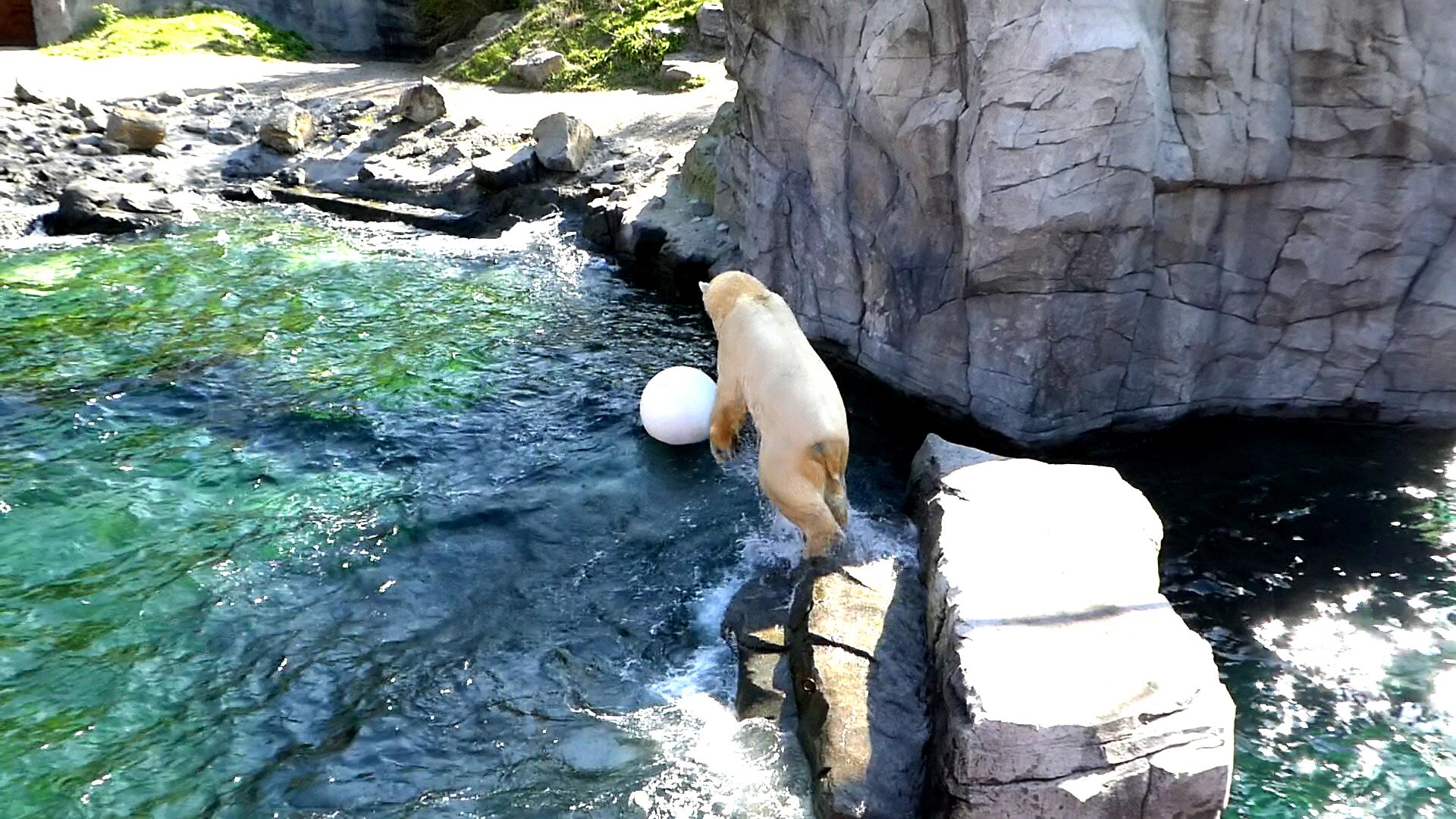 Eisbär  (57)
