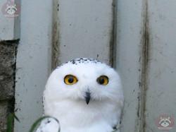 Schneeeule (1)