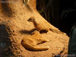 Fuchsmangusten  (1)
