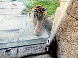 Wuschel mit Tiger Jungtier  (2)