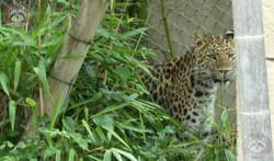 Leopardin Cleo  (1)