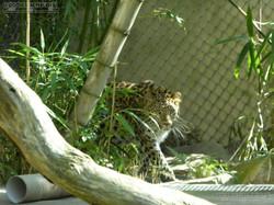Leopard Cleo