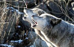 Timberwolf  (10)