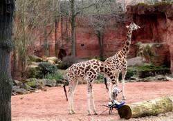 Löwe Basu beobachtet die Giraffen