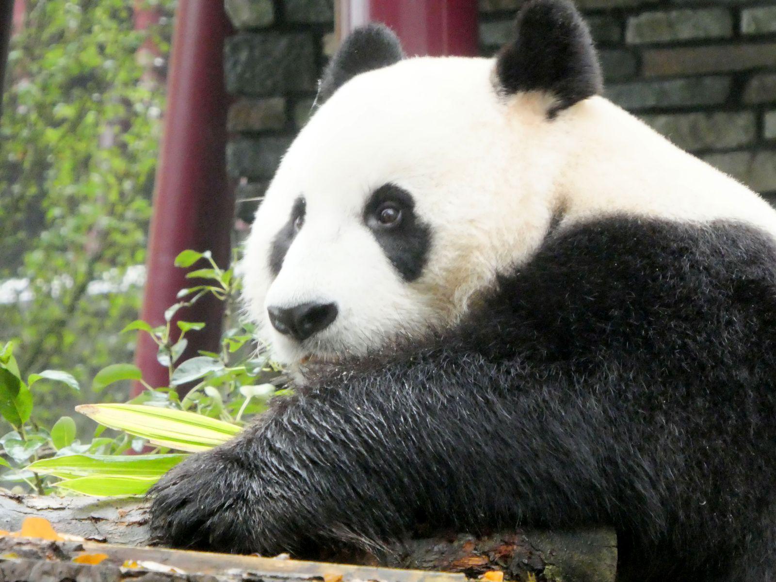 Panda  (18)
