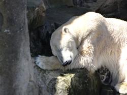 Eisbären Papa