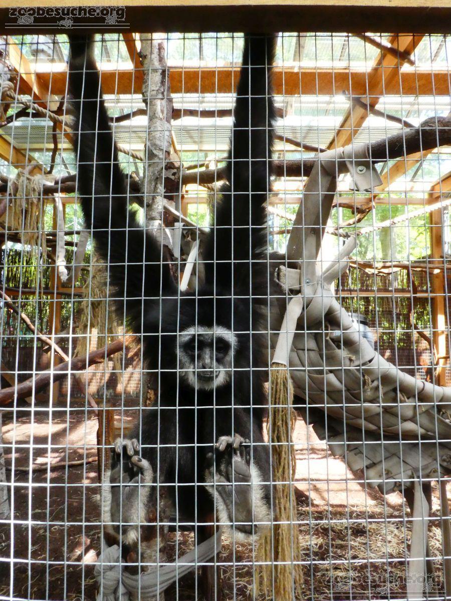 Weißhandgibbons (7)
