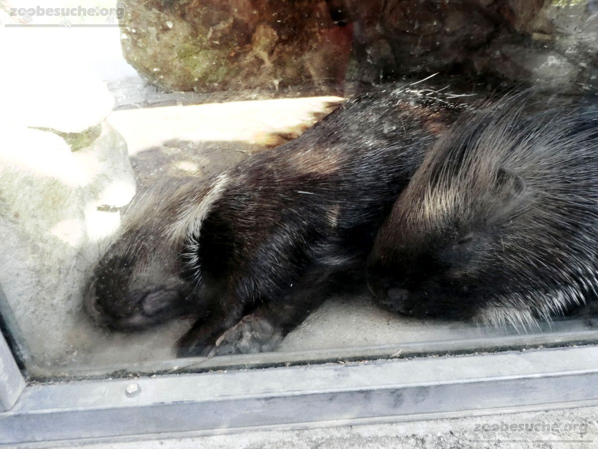 Stachelschwein  (2)