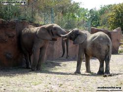 Afrikanische Elefanten  (6)