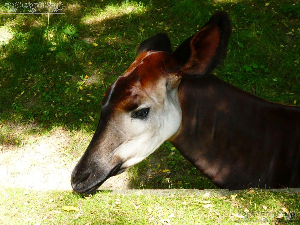 Okapi  (4)