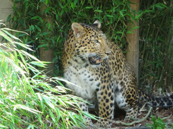 Leopard  (11)
