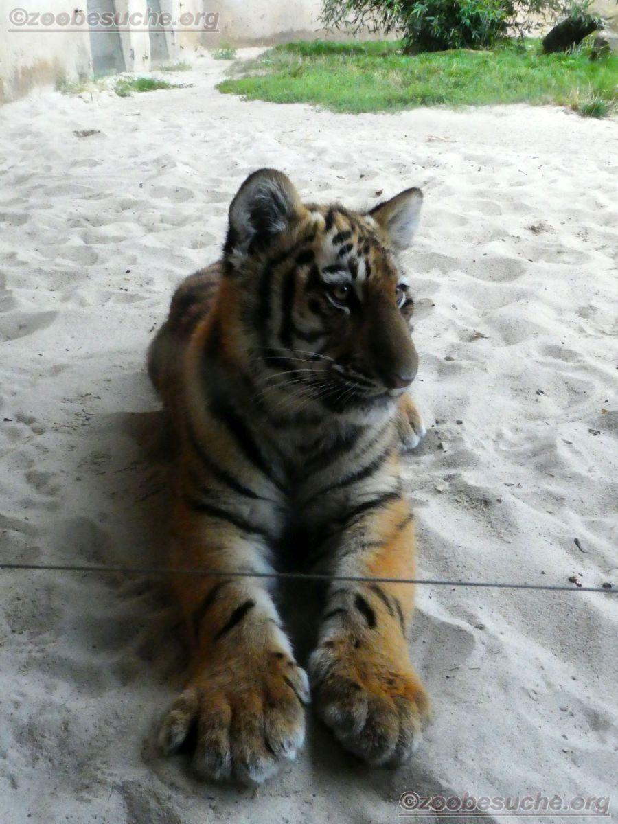 Tiger Jungtier Jaro  (10)