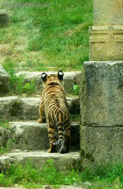 Tiger Jungtiere  (52)