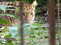 Leopard Julius 1