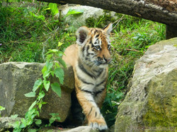 Tiger Jungtiere  (42)