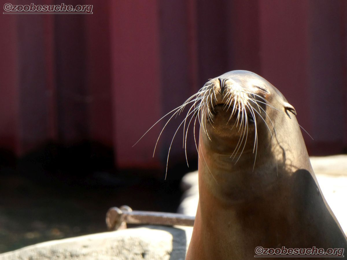 Californischer_Seelöwe__(6)