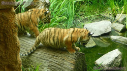 Tiger Jungtiere  (24)