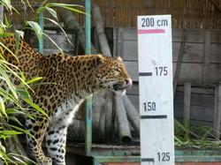 Leopard Julius  (31)