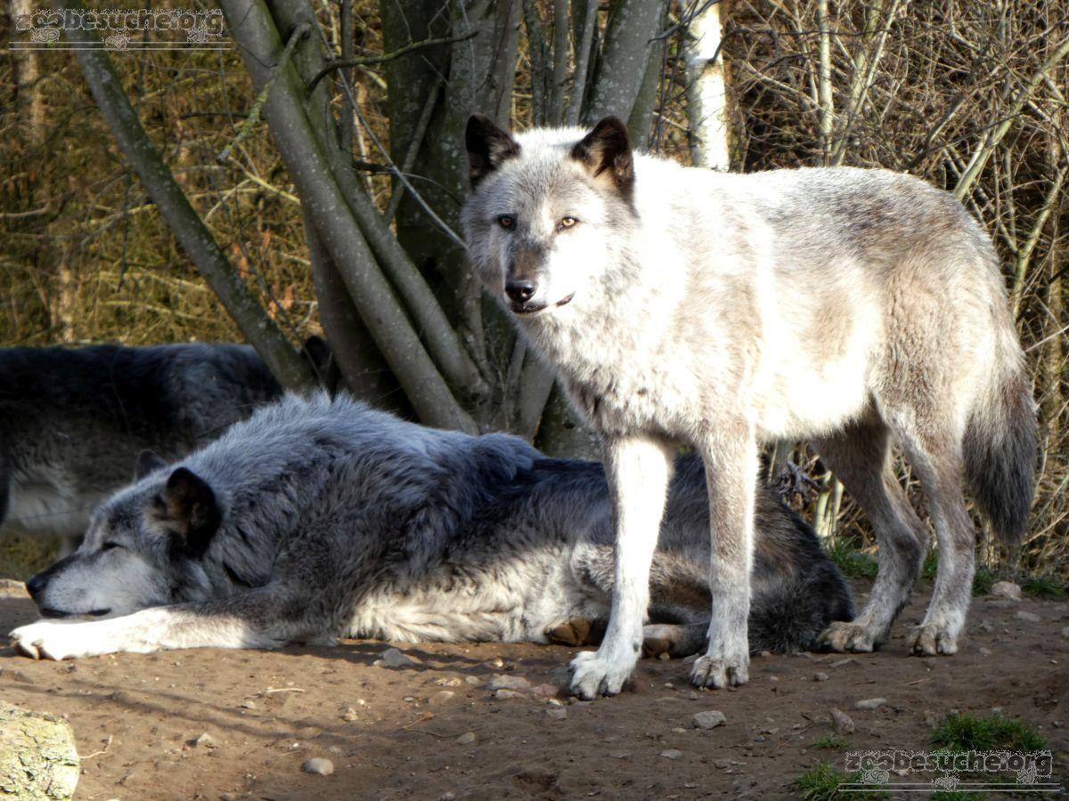 Timberwolf  (2)