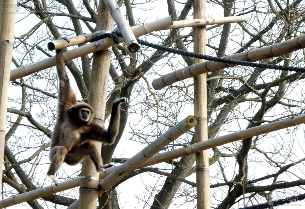 Gibbon  (8)