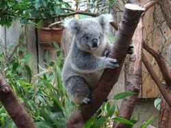 Koala  (4)