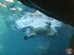 Eisbären  (16)