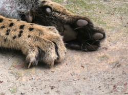 Serval Servus (2)