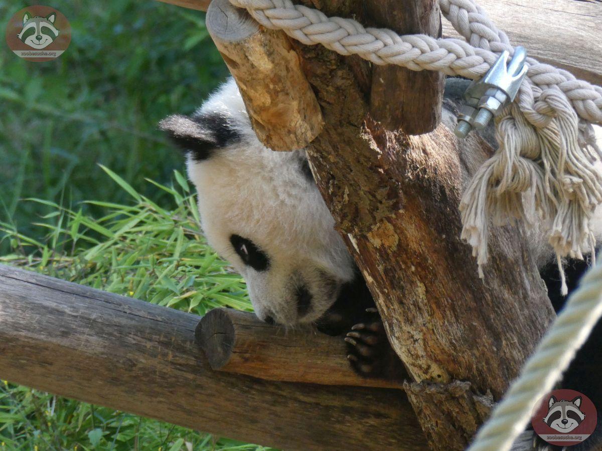 Panda Jungtier  (4)
