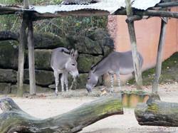 Somali Wildesel  (1)