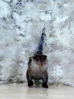 Kurzkrallen Otter  (2)