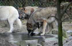 Wolf  (17)