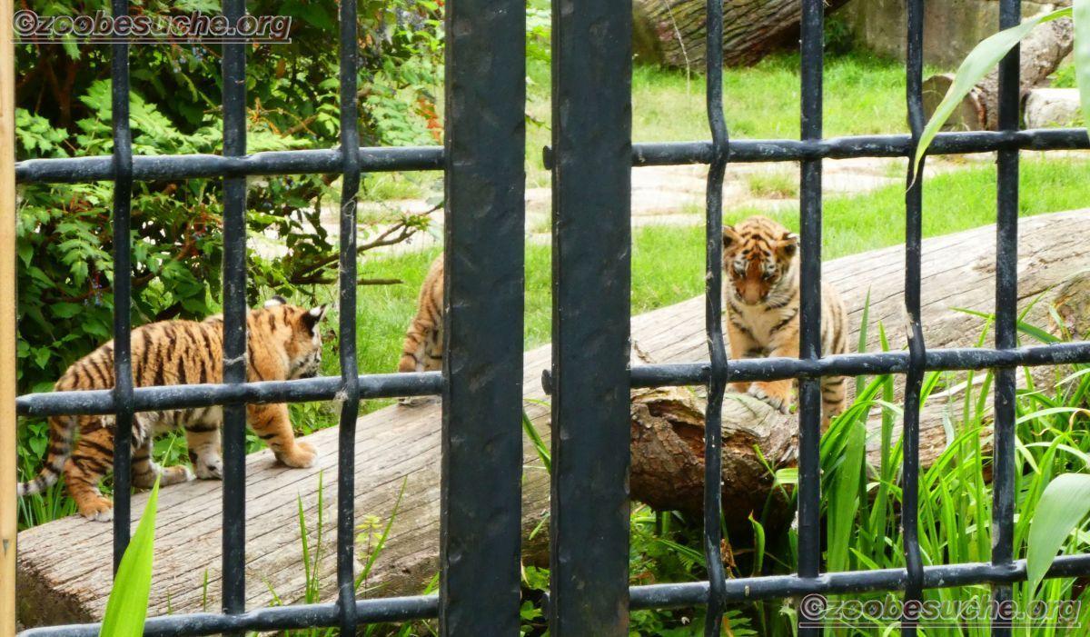 Tiger Jungtiere  (25)