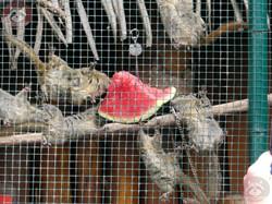 Chinesische_Baumstrifenhörnchen