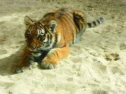 Tigerjungtiere  (15)