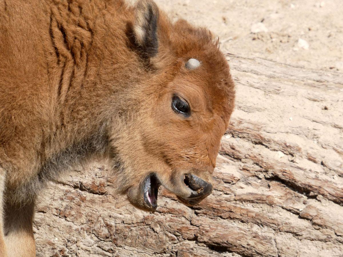 Bison  (6)