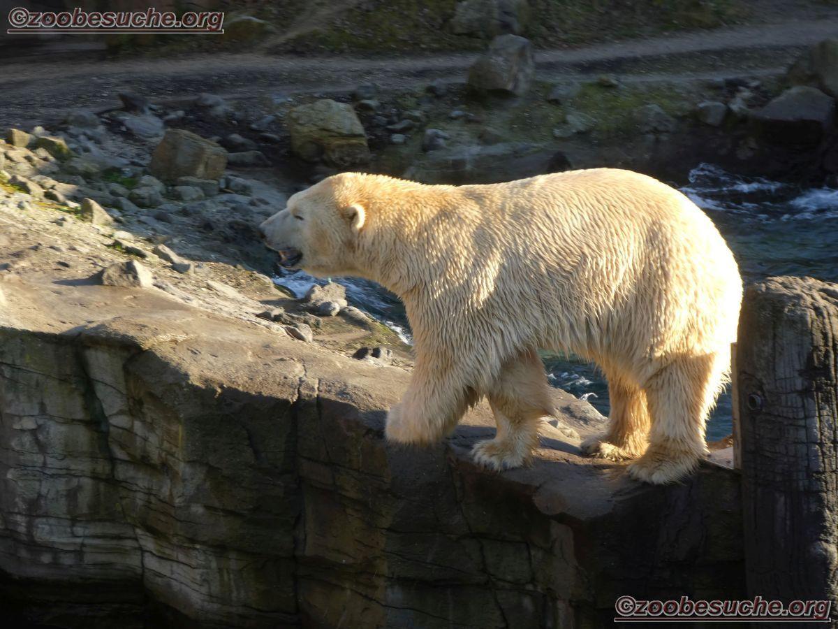 Eisbär_Sprinter__(6)