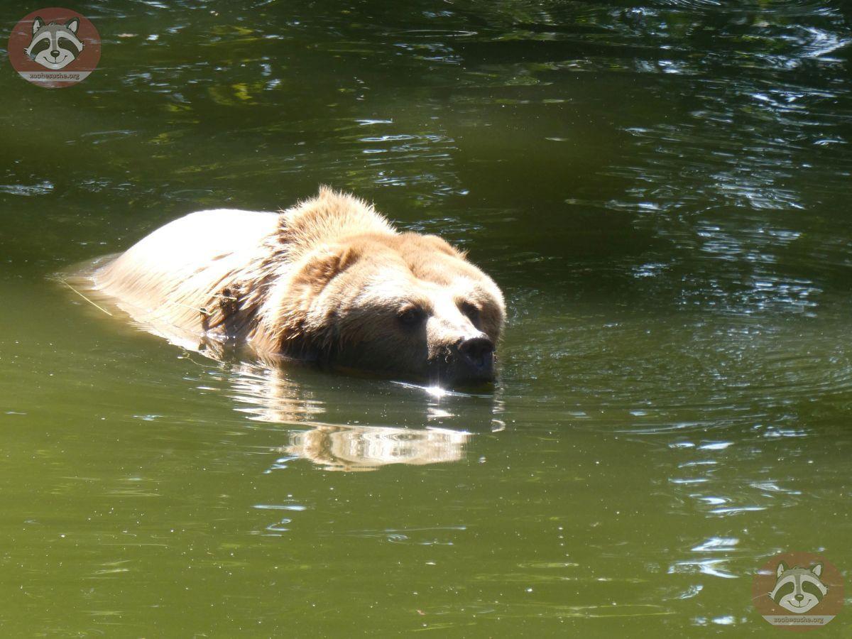 Braunbär Karla  (6)