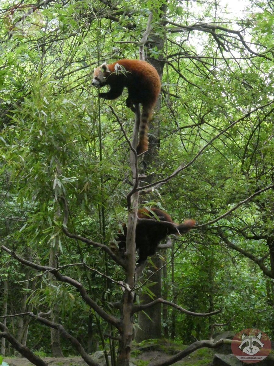 Roter Panda  (23)