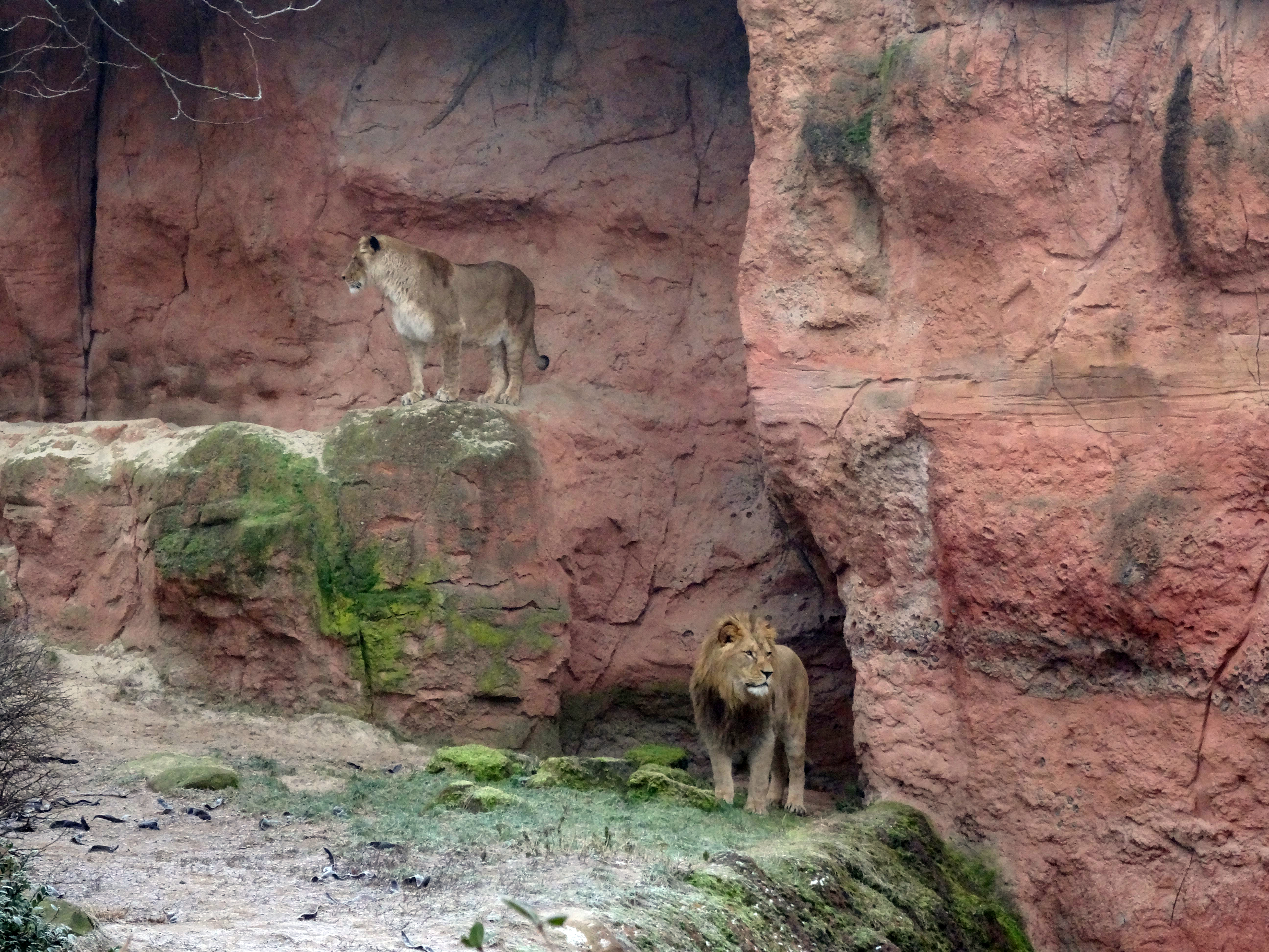 Berberlöwen  (6)