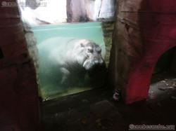 Flusspferd mit Wuschel  (1)