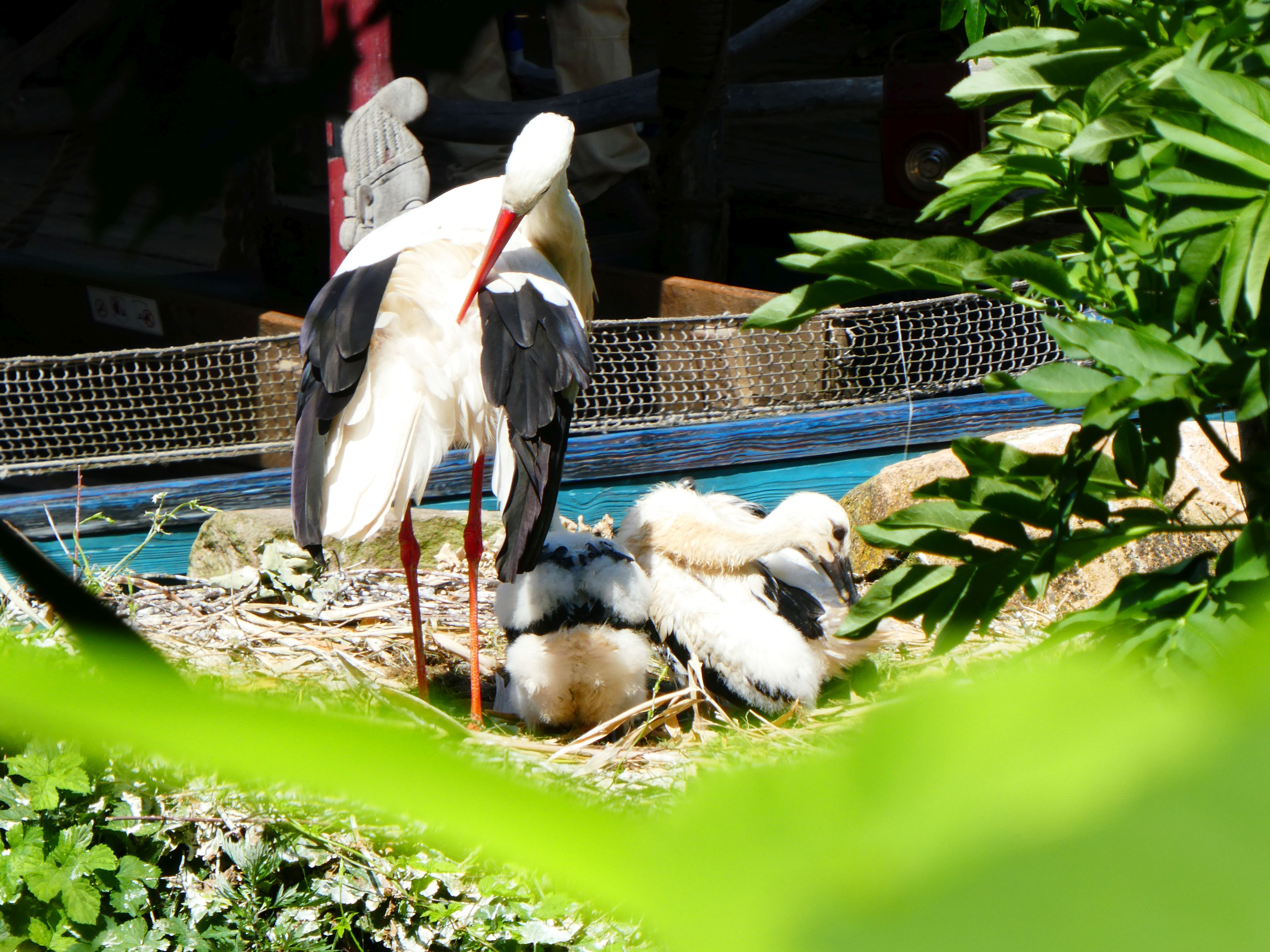 Storch  (4)