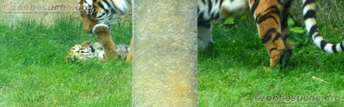 Tigerin Alexa  mit Jungtieren (9)