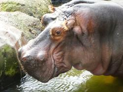Flusspferd  (1)