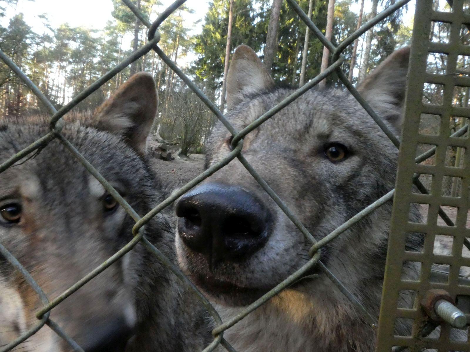 Wolf  (10)