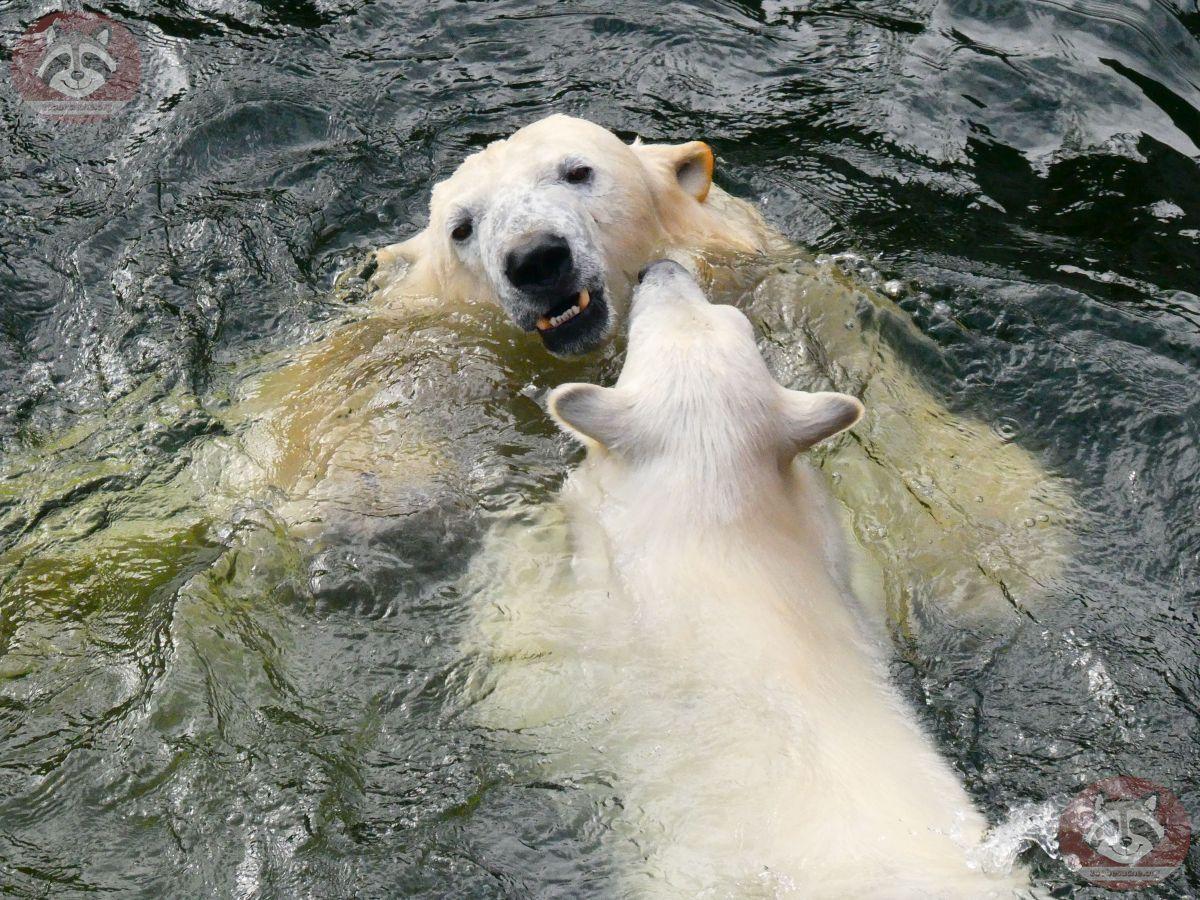 Eisbären_Nana_und_Milana_(16)