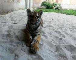 Tiger Jungtier Jaro  (5)