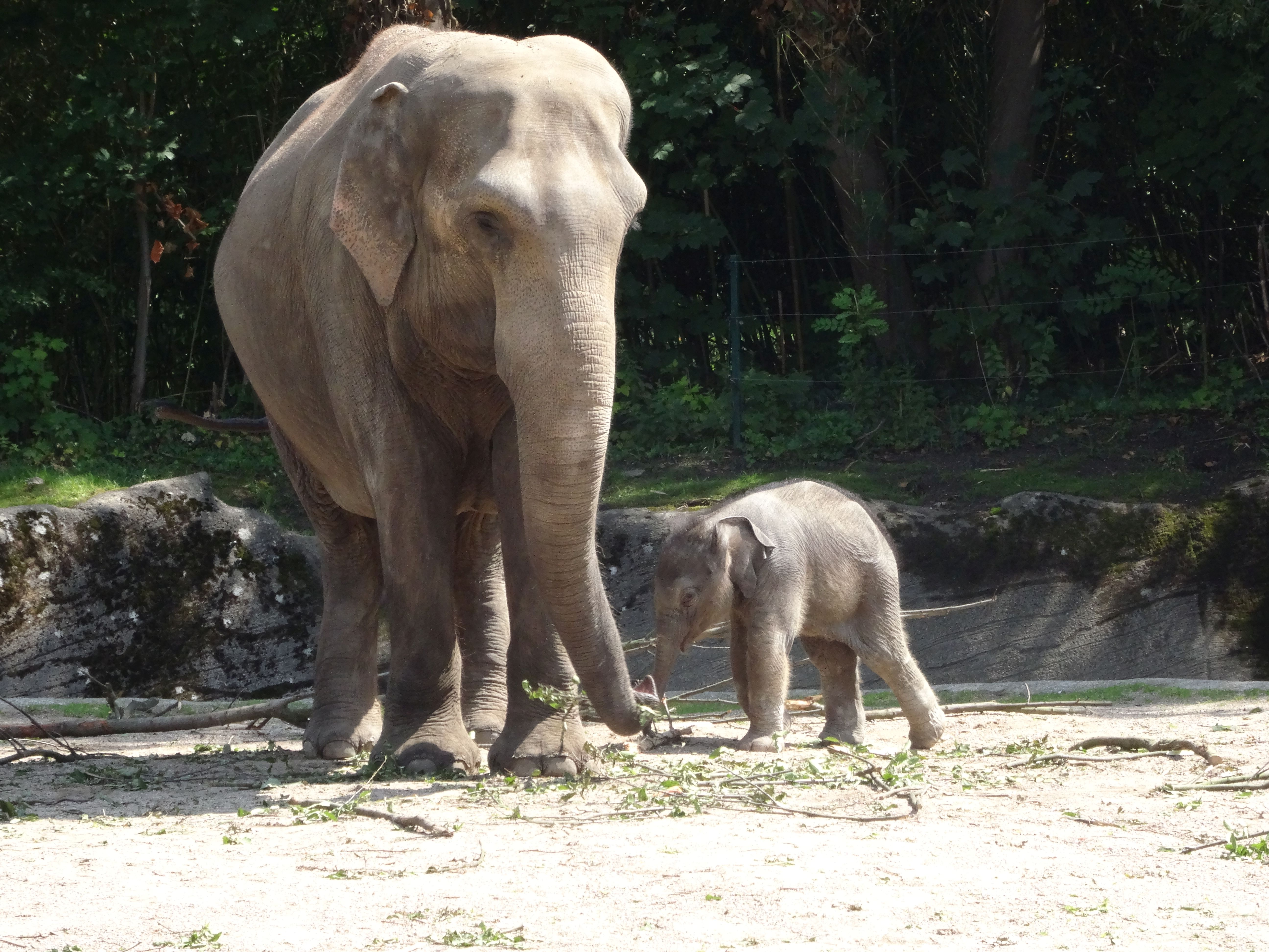 Eelefant  (2)
